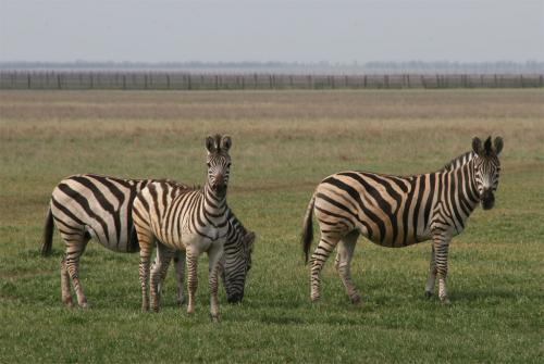 Первыми в степи встречают зебры.