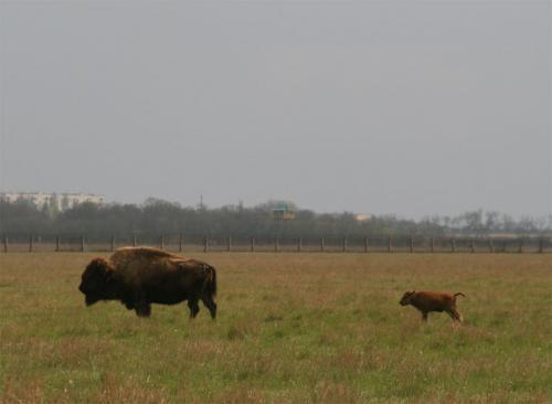 Американские бизоны