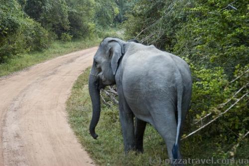 Иногда слоны стоят прямо на дороге, приходится ждать, пока они ее уступят.