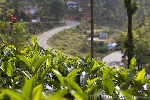 Чай растет везде - на горах, около домов, вдоль дорог.
