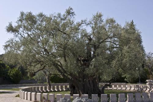 Одно из старейших в мире оливковых деревьев (более 2000 лет)
