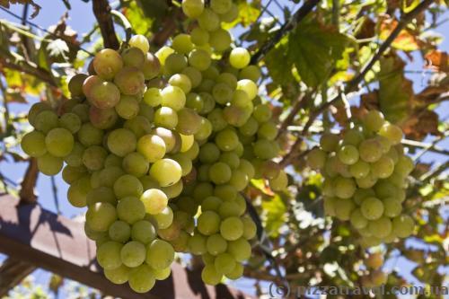 Огромные грозди винограда на Кипре