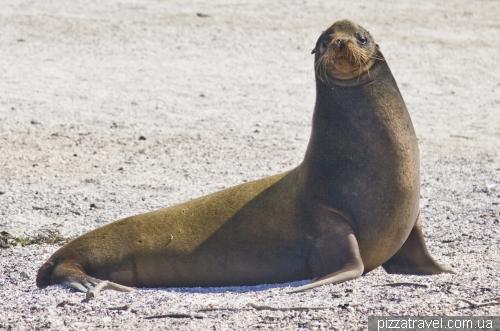 Большой морской лев на острове Фернандина