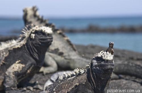 Морские игуаны на острове Фернандина