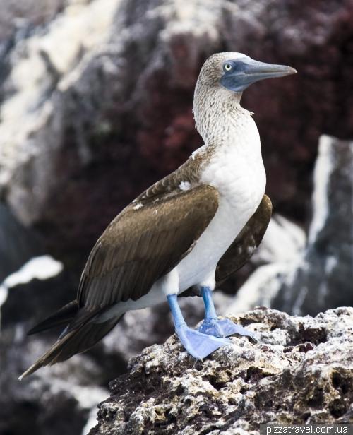 Голубоногая олуша на острове Мариэла