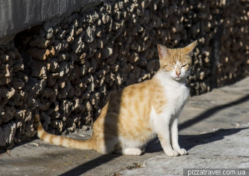 Мальтийский кот