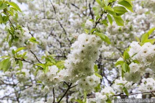Белые сакуры в Ганновере