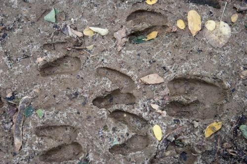 Следы животных в Каневском заповеднике