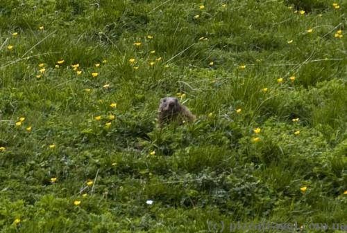 Alpine groundhog on the Nebelhorn hillside